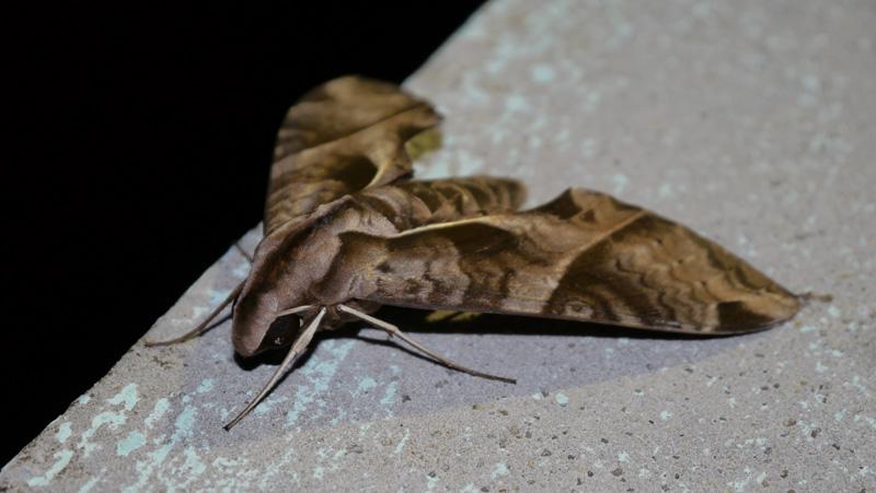 Papillon de nuit 1201190119001438679317155