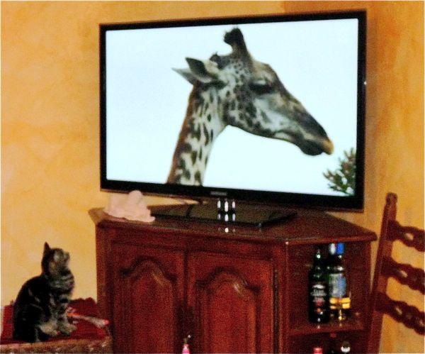 chat et girafe