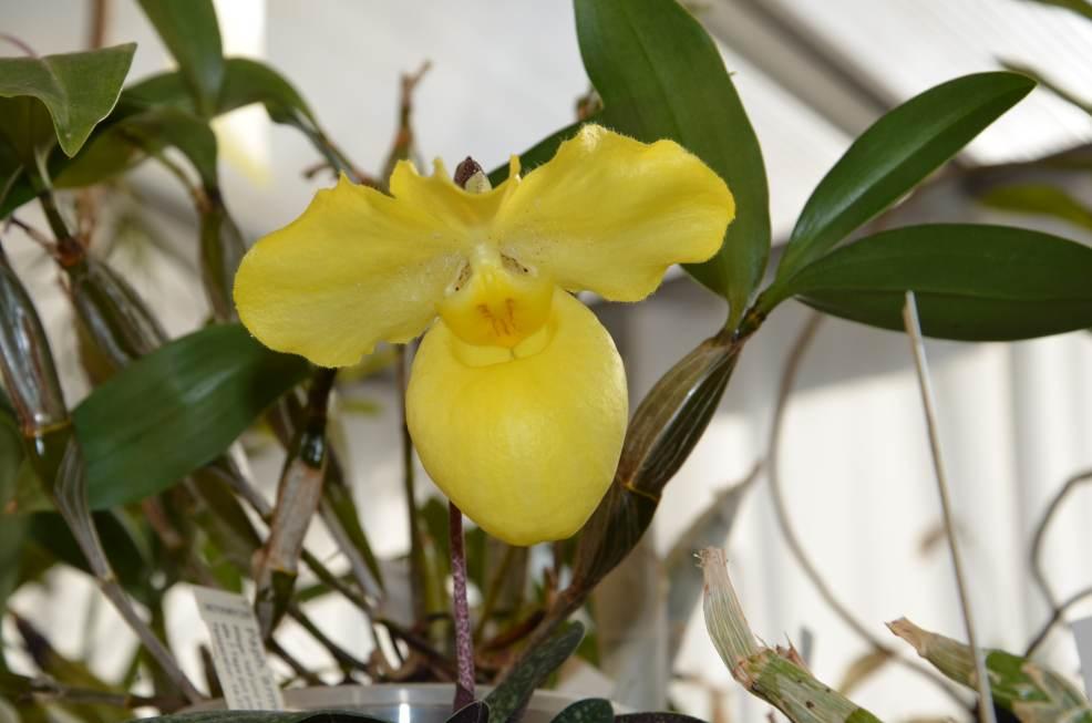 Paphiopedilum armeniacum 17021511133115993614848597
