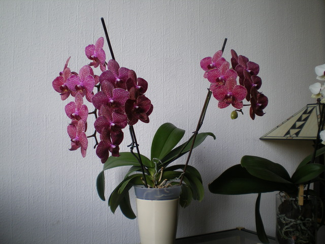 Phalaenopsis 'Chualar' 17032005553520151714933840