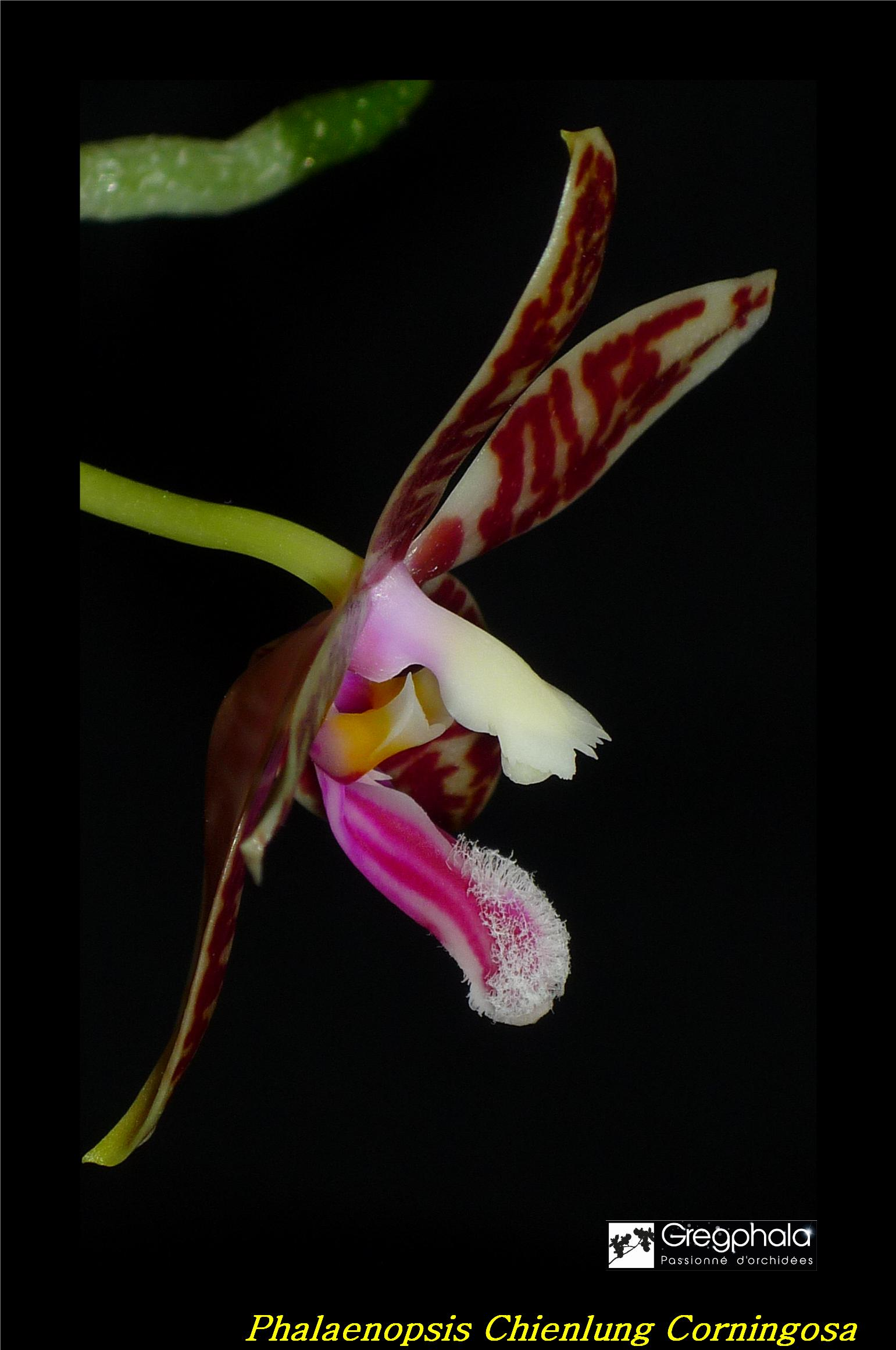 Phalaenopsis Chienlung Corningosa 17032301054017991314940076