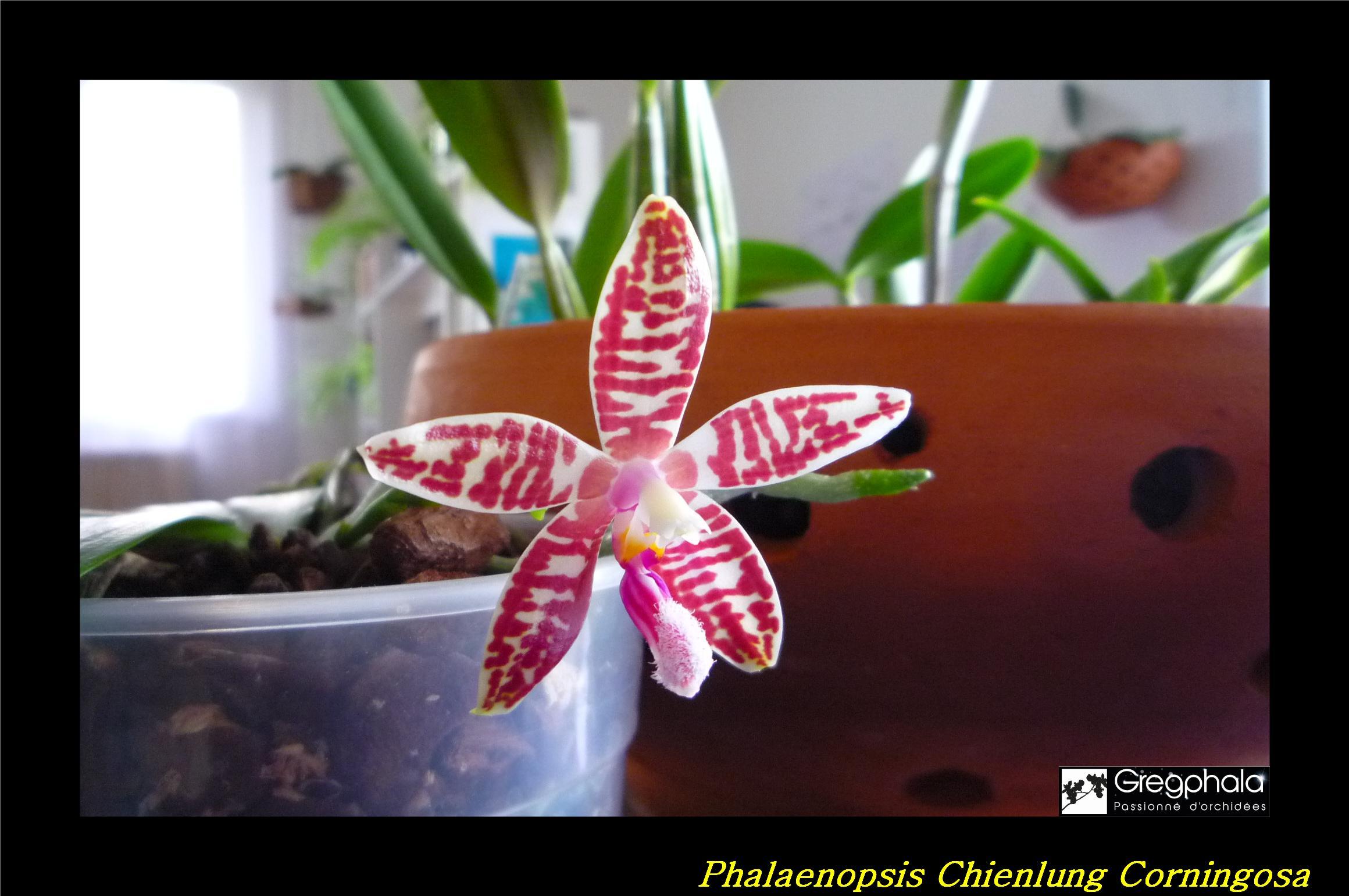Phalaenopsis Chienlung Corningosa 17032301054517991314940077