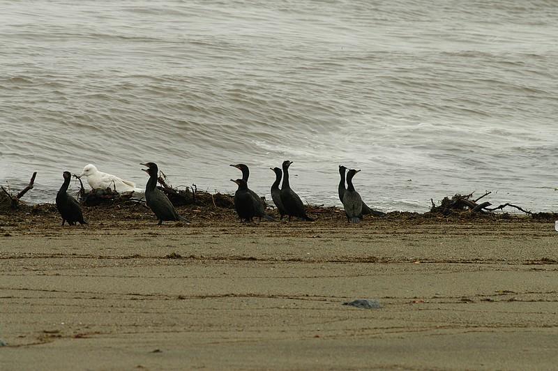 cormoran à aigrettes  17051008472112902215031219