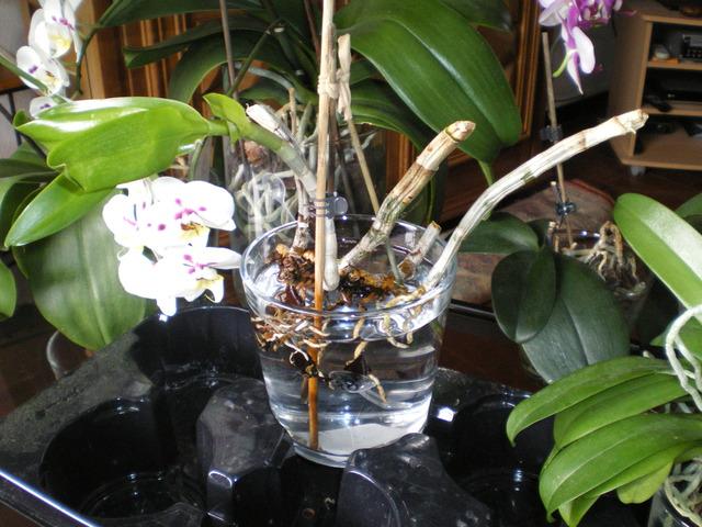 SOS Dendrobium stratiotes 17051401322820151715040223