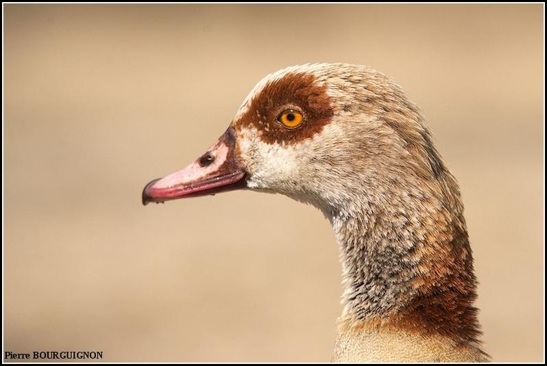 Ouette d'Egypte (Alopochen aegyptiaca) par Pierre BOURGUIGNON, photographe animalier belge