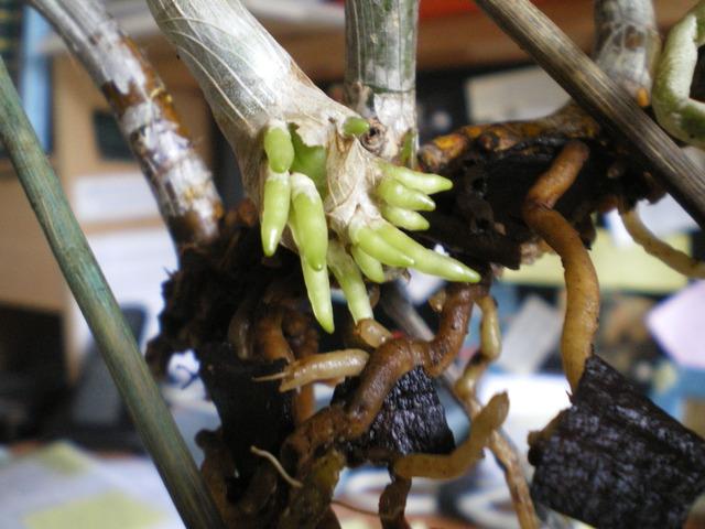 SOS Dendrobium stratiotes 17060601075020151715079302