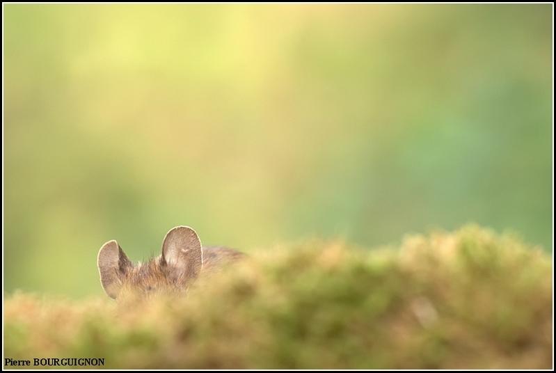 Mulot sylvestre (Apodemus sylvaticus) par Pierre BOURGUIGNON, photographe animalier belge