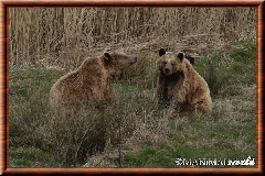 Ours brun - ours brun 01