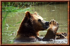 Ours brun - ours brun 12