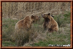 Ours brun - ours brun 20