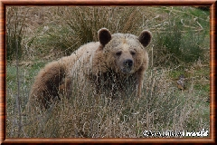 Ours brun - ours brun 23