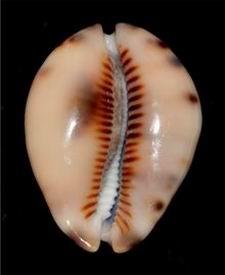 Mauritia maculifera martybealsi Lorenz, 2002 - Page 3 17061104571714587715089207