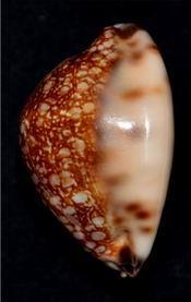 Mauritia maculifera martybealsi Lorenz, 2002 - Page 3 17061104571814587715089208