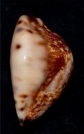 Mauritia maculifera martybealsi Lorenz, 2002 - Page 3 17061104571814587715089209
