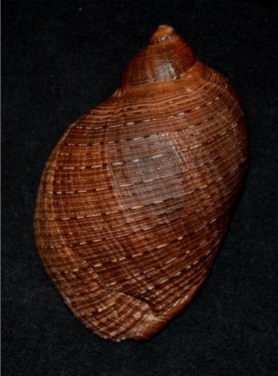 Purpura persica - (Linnaeus, 1758) 17061105012114587715089223