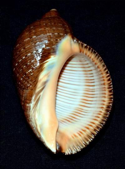 Purpura persica - (Linnaeus, 1758) 17061105012214587715089224