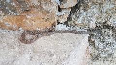 Serpent - snake