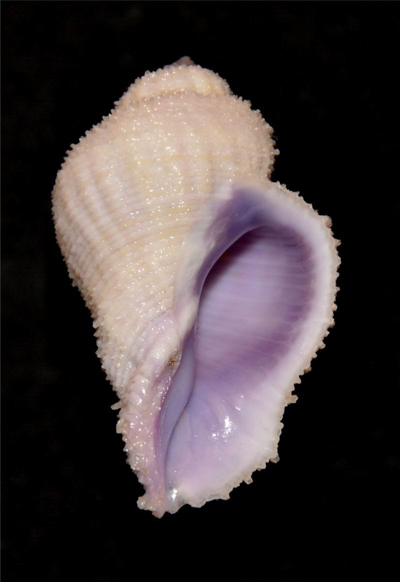 Coralliophila radula - (A. Adams, 1855) 17061606030514587715097995