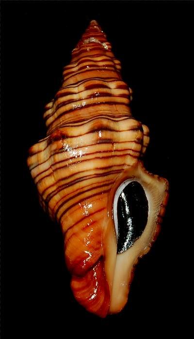 Latirus gibbulus - (Gmelin, 1791) 17062412175514587715110694