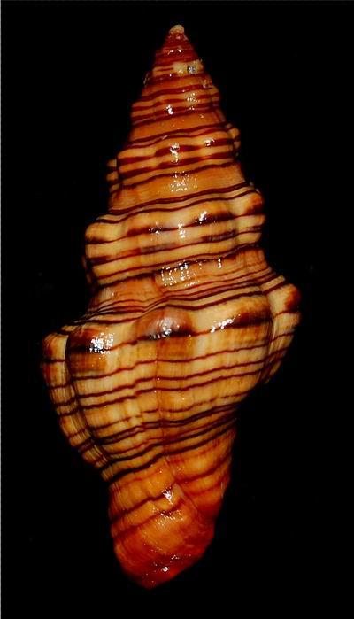 Latirus gibbulus - (Gmelin, 1791) 17062412175514587715110695