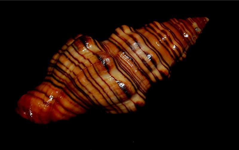 Latirus gibbulus - (Gmelin, 1791) 17062412175614587715110696