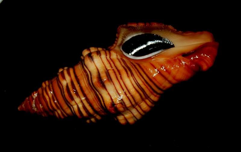 Latirus gibbulus - (Gmelin, 1791) 17062412175714587715110697