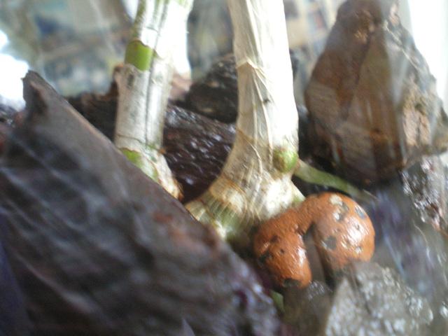 SOS Dendrobium stratiotes 17062601570420151715113748