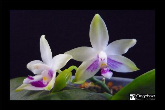 Phalaenopsis 'Java' 17063012234517991315122057