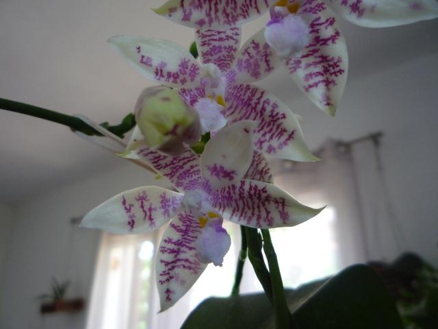 Phalaenopsis speciosa x hieroglyphica 17080108222517991315183771