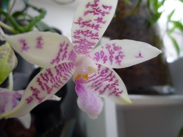 Phalaenopsis speciosa x hieroglyphica 17080108240617991315183774