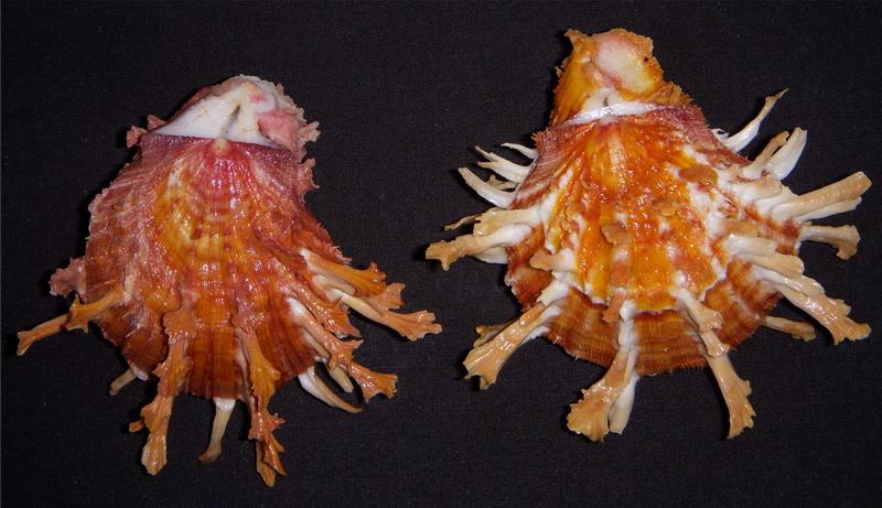 Spondylus foliaceus - Schreibers, 1793 17100511541714587715301986
