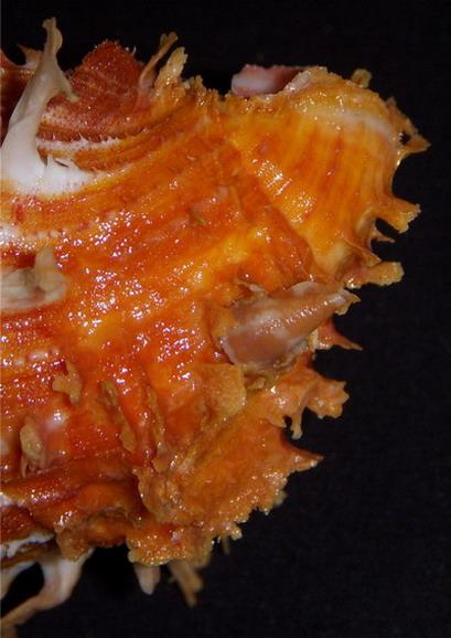 Spondylus foliaceus - Schreibers, 1793 17100511542014587715301988