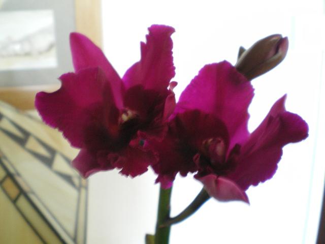 """Cattleya hybride """"Rhâââ !"""" 17102308305120151715336288"""
