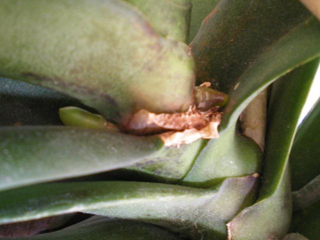 Phalaenopsis : distinguer les  hampes des racines 17102308311220151715336289