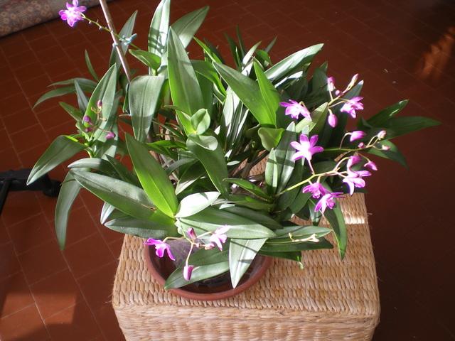 Dendrobium Berry Oda - Page 2 17112906281720151715392699