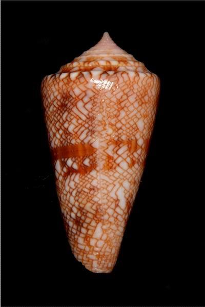 Conus (Cylinder) glorioceanus  Poppe & Tagaro, 2009 17122909223414587715429594
