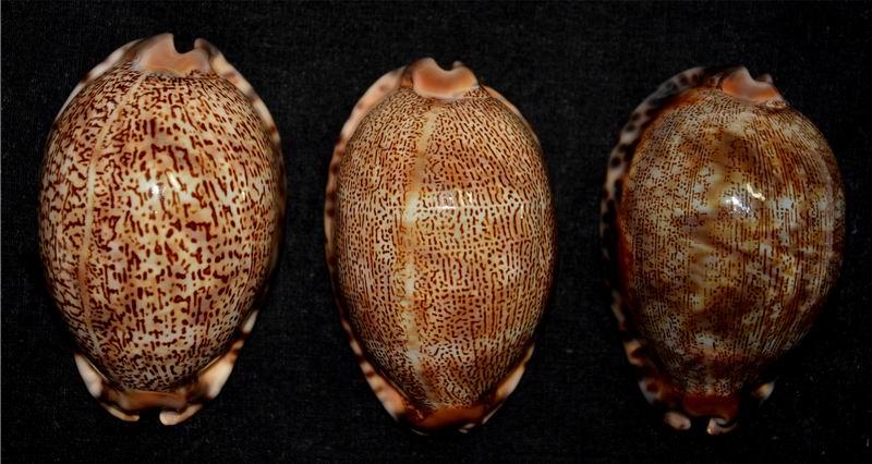 Mauritia arabica asiatica f. empressae - Kessler, 2006 17122911243114587715429762