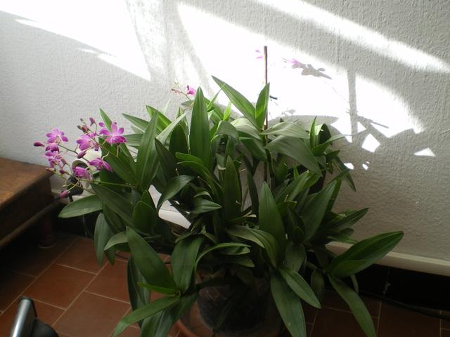 Dendrobium Berry Oda - Page 2 17123105150620151715432469