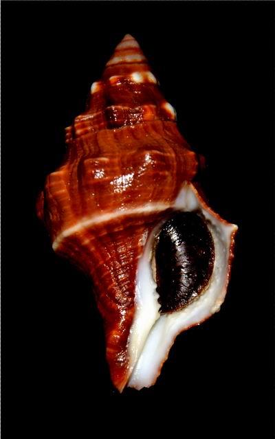 Leucozonia nassa - (Gmelin, 1791) 18010910172514587715443102