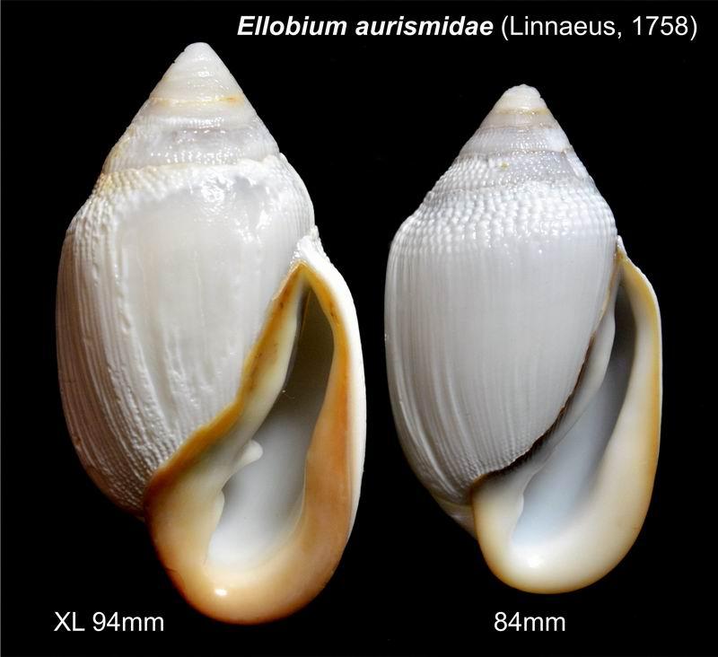 Ellobium aurismidae (Linné, 1758) 18011002084814587715443483
