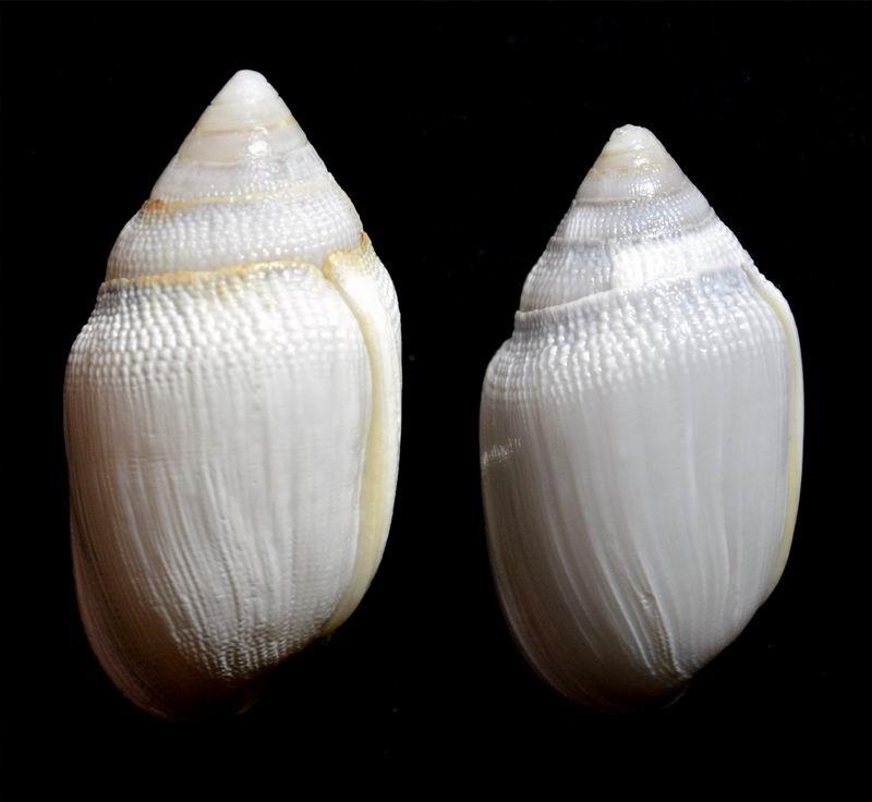 Ellobium aurismidae (Linné, 1758) 18011002084914587715443484