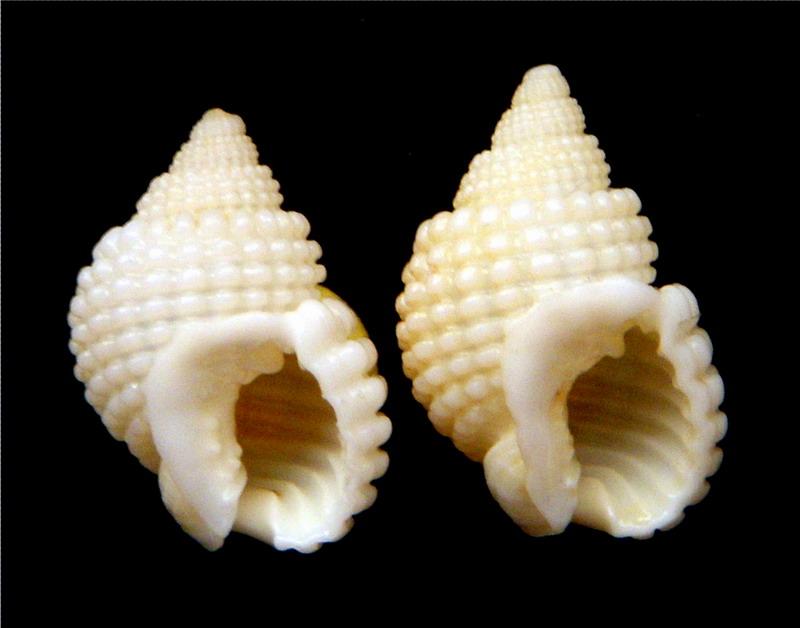 Nassarius conoidalis - (Deshayes, 1832) 18011103153914587715444370