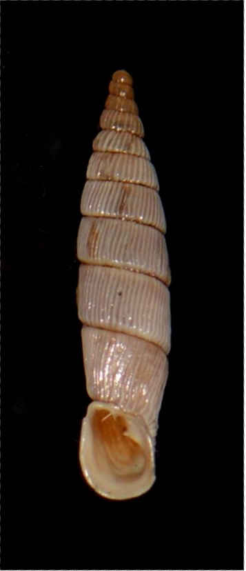 Albinaria cretensis troglodytes (Schmidt, 1868) 18012007175514587715482301