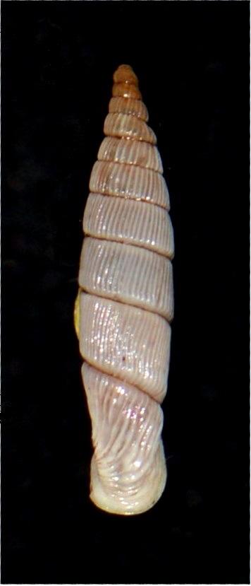 Albinaria cretensis troglodytes (Schmidt, 1868) 18012007175514587715482302