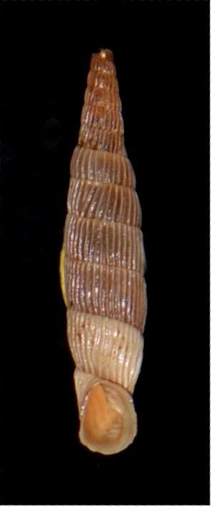 Albinaria cretensis strigata (Boettger, 1878) 18012007180414587715482311