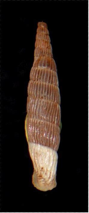 Albinaria cretensis strigata (Boettger, 1878) 18012007180414587715482312