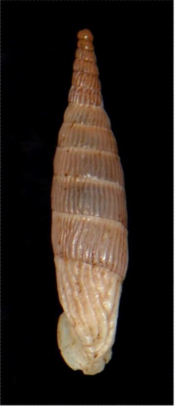 Albinaria corrugata inflata (Olivier, 1801) 18012007180614587715482314