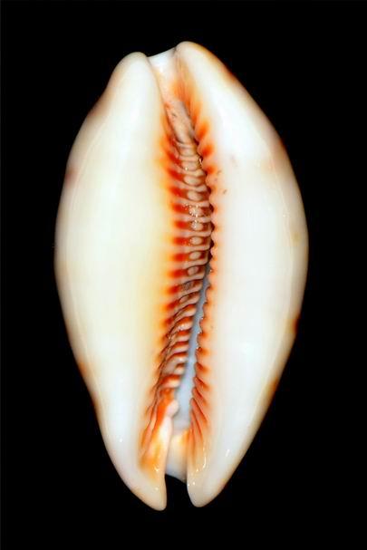 Lyncina lynx caledonica - Crosse, 1869 18012203461314587715489893