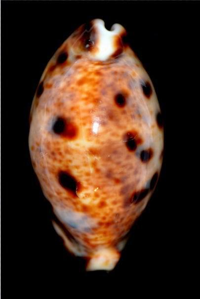 Lyncina lynx caledonica - Crosse, 1869 18012203461414587715489894