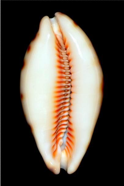 Lyncina lynx caledonica - Crosse, 1869 18012203461414587715489895